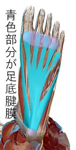 足底腱膜炎 解剖