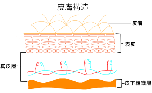 美容鍼 皮膚構造